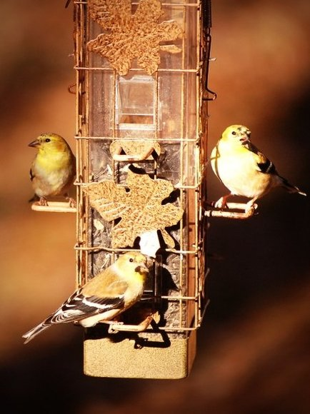 Goldfinches 2.jpg
